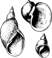 Three seashells lymnaeidae