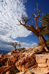 Dead tree - Grand canyon, Arizona USA
