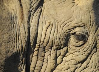 Particolare ravvicinato di elefante