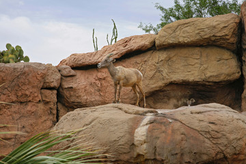 Big Horn Sheep ( famale ). Desert Museum, Tucson USA