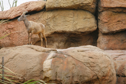 Big Horn Sheep ( famale ). Desert Museum, Tucson USA