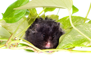 black hamster in green leaves