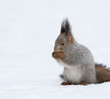 Squirrel on the snow
