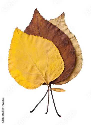 Autumn leaves isolited on white