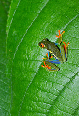 red eyed green tree or gaudy leaf frog on green plant,costa rica