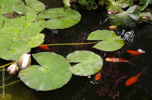 Golden fish pond
