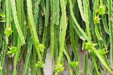 dragon fruit   ( Hylocercus undatus (Haw) Brit. &