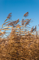 Closeup of reeds waving in the wind
