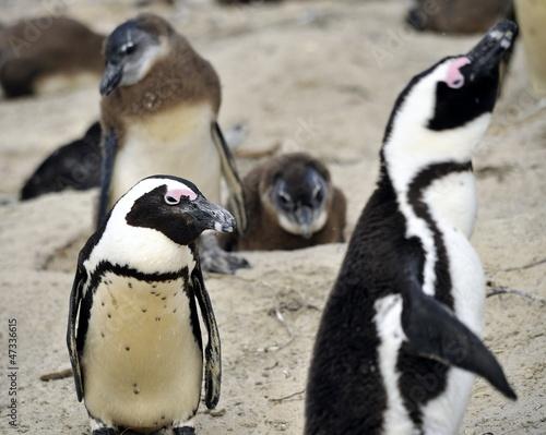 Foto op Aluminium Pinguin Pinguino che osserva