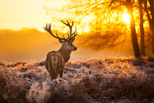 Red Deer in Morgensonne.