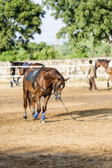 brown horse is trained by the lunge