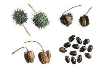 Castor bean propagation cycle