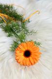 Kwiat gerbera