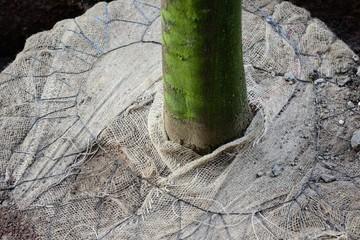 Drahtballierung eines Jungbaumes