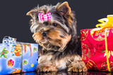 puppy of Yorkshire terrier with new year presents
