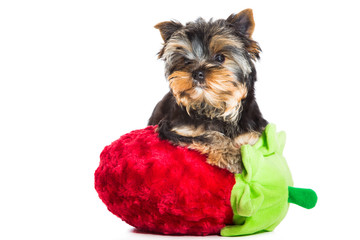 Yorkshire terrier with red velvet strawberry on isolated white