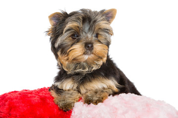 Yorkshire terrier with red velvet pillow on isolated white