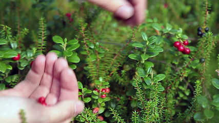Cawberreis harvesting in forest. Human hands with berries