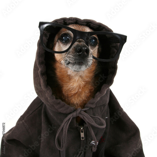 a chihuahua wearing a hoodie and glasses