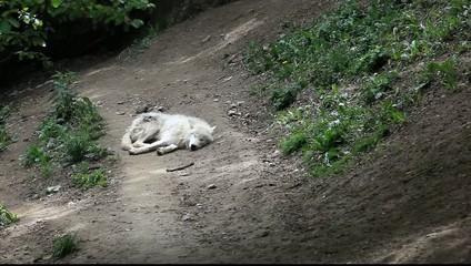 loups blancs du canada