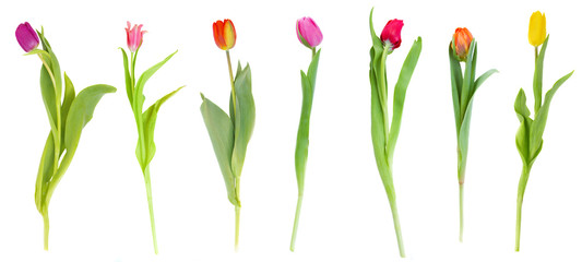 set of tulips