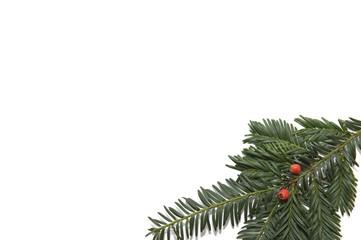 Zweig einer Eibe auf weißen Hintergrund