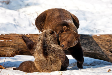 Brown Bears (Ursus arctos)