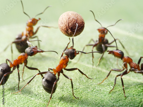 ants play volleyball with ball of pepper seed