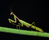 portrait of mantis on the stem