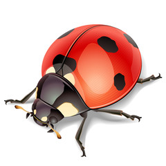 Ladybird-vector illustration