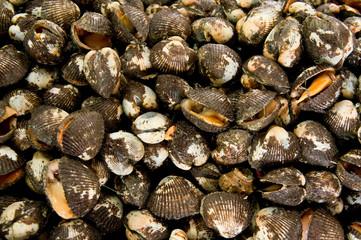 Fresh raw clams
