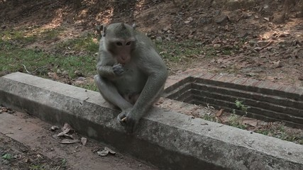 cambodian monkey is eating cookies and staring on opponent