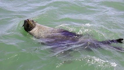 seal swimming ocean