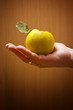 Hand holding apple quince