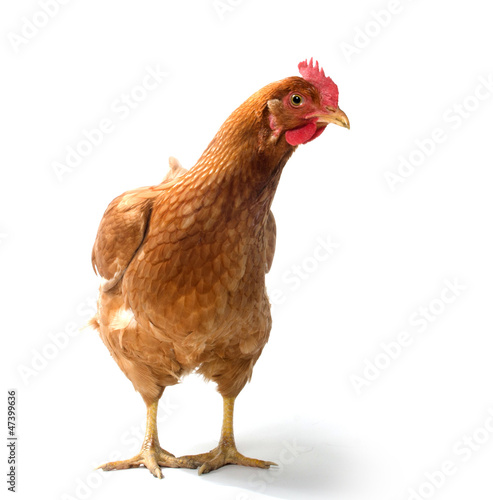 Red sex link chicken