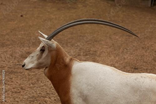 L'Oryx blanc