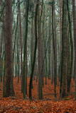 Fototapeta jesień - liście - Las