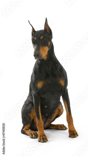 doberman pinscher sitting