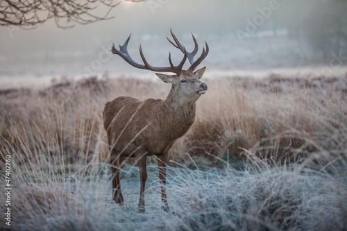 Plakat Red deer