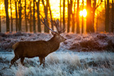 Fototapety Red deer