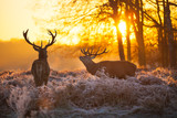 Red deer - 47402410