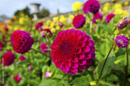 Red and yellow dahlias in a garden.