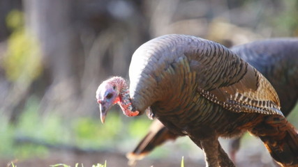 Wild Turkey Jake in Chufa