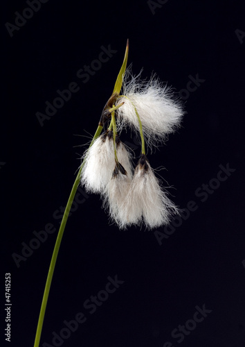 Wollgras, eriophorum