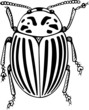 Colorado potato beetle close-up