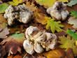 white truffles (tuber magnatum)
