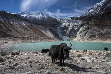 Yak at Pungen lake