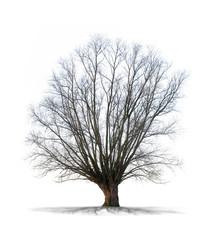 Arbre sans feuilles sur fond blanc
