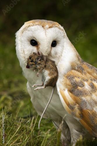 Aluminium Uil Barn Owl (Tyto alba) with a field mouse - England