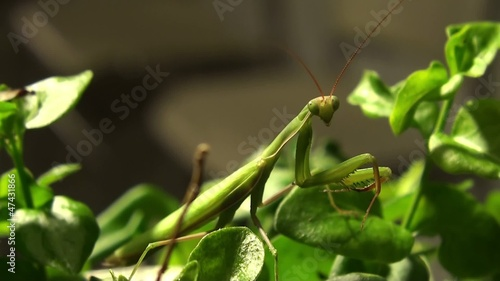 Hunting Praying mantis at night